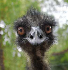 An Emu.  Love these birds!  Who wouldn't love that crazy happy face?!!!!  ha ha…