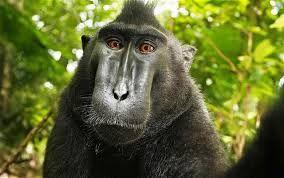 """Os macacos de crista negra são uma espécie em risco de extinção e estão sendo estudados num parque natural da Indonésia. """"Não são tão inteligentes como os chimpazés, mas são muito curiosos""""."""