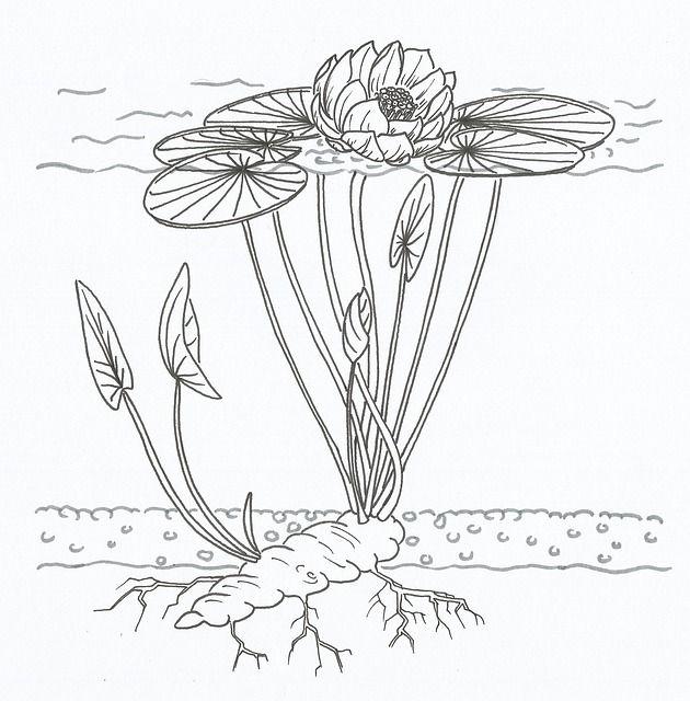 diagram of water hyacinth
