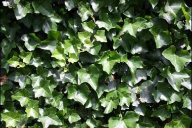 Irsk vedbend  Hedera hibernica (Irsk vedbend) er en stedsegrøn klatreplante, der er velegnet som hæk. Irsk vedbend vokser kraftigt og når hurtigt ønsket højde. En stor fordel ved vedbend som hækplante, er at hækken rundt om haven bliver forholdsvis smal, så den ikke tager for meget plads. For at beholde plantens tætte form og friske, grønne udseende skal irsk vedbend beskæres to gange om året.