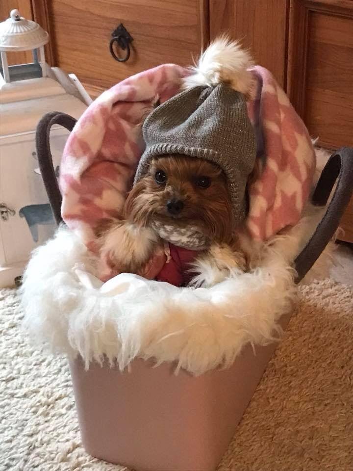 Oh My Word Yorkie Puppy Yorkshire Terrier Yorkshire Terrier Dog