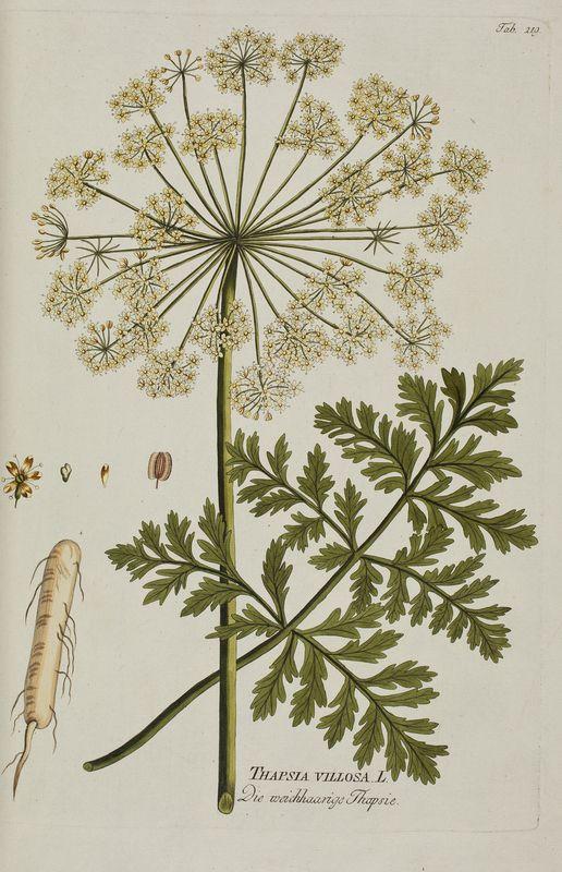 Large_plenk_1788_tapisia_villosa