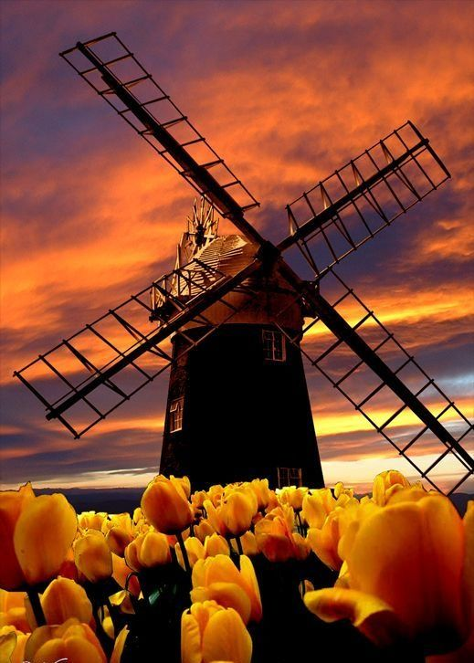 Dutch windmill, tulip field and evening skies.