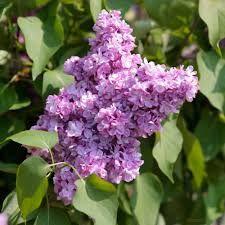 Le lilas ou syringa vulgaris Belle de Nancy est un arbuste rustique à floraison printanière. Il offre des fleurs semi-doubles mauves très parfumées en mars/avril. C'est un grand classique de nos jardins. Adulte, il peut atteindre 5 m, mais il est conseillé de le tailler tous les ans, après la floraison, pour obtenir un port