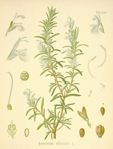 ROSEMARY:  The young tops, leaves and flowers can be made into an infusion, called Rosemary Tea, which, taken warm, is a good remedy for removing headache, colic, colds and nervous diseases, care being taken to prevent the escape of steam during its preparation. It will relieve nervous depression.