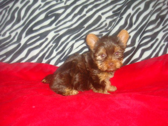Puppies For Sale Yorkshire Terrier Biewer Biewer Yorkshire Terriers F Yorkshire Terrier Funny Yorkshire Terrier Puppy Yorkie Yorkshire Terrier Puppies