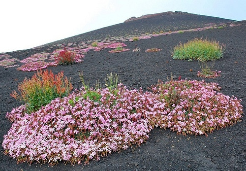 Etna..Fioriture primaverili su pietra lavica!