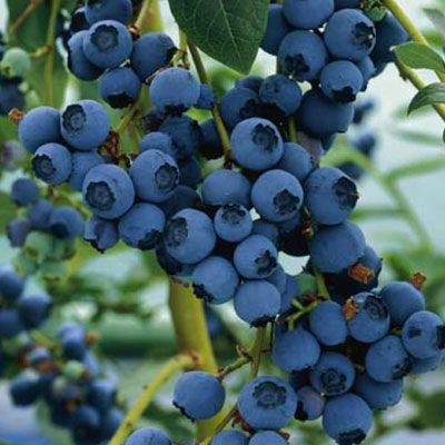How to grow blueberries from seed. #garden #gardening #blueberries