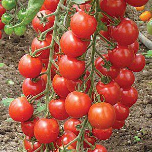 3925311_pomidori (300x300, 33Kb)