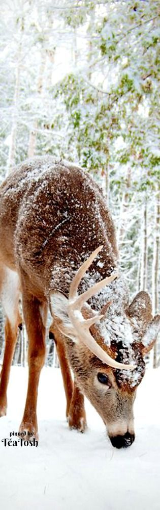 Deer in the snow photography
