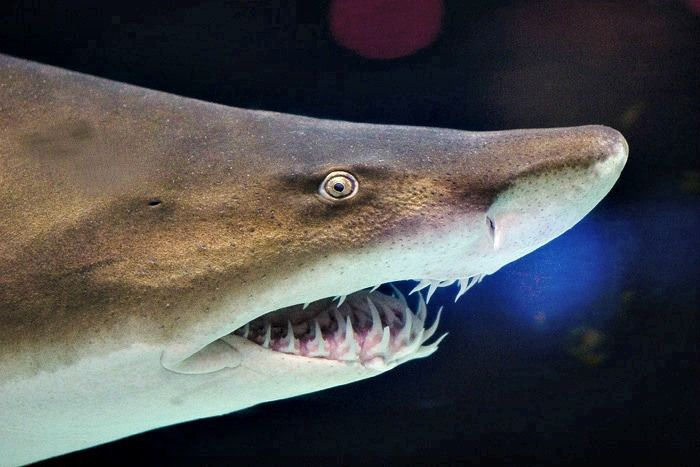 Snout and mouth of sand tiger shark, showing protruding teeth and small eyes. 10 Fun Facts About Sand Tiger Sharks! - Cool and Interesting Facts for Kids