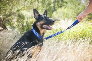 When choosing a dog to train as a Diabetic Alert Dog you must know something about their breeding.  Certain breeds such as German Shepherds make excellent Diabetic Alert Service Dogs because they use their noses and are very loyal and very protective.