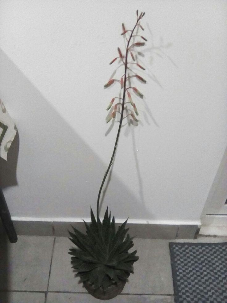 """A minha """"rabo-de-lagartixa"""" em flor"""
