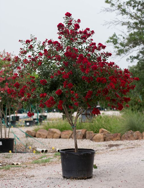 Dynamite E Myrtle With Deep Red Flowers Picture Taken By Treeland Nursery At Our Tree Farm North Of Dallas Texas