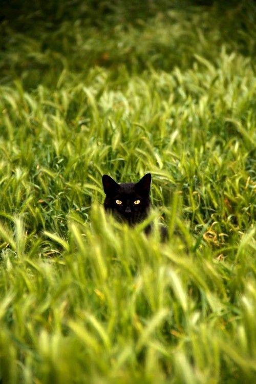 Black Cat in Green Field