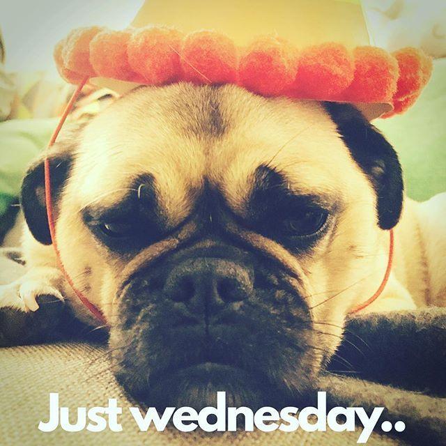 Just Wednesday.. Pug hangover.. . . . #pug #hangover #happyhumpday #humpday #wednesday #pugs #instadogs #tits #melbourne #instapugs #justinbieber #dogcrazy #pugpugpugs #pugslife #pughumor #lol #funny #instacats #catvideo #pugsofinstagram #mommyblogger #blogger #sharktank #masterchef