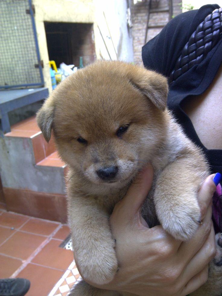 Baby Shiku, Shiba Inu, Puppy