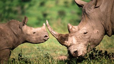 Tre noshörningar dödas varje dag för sina horn. Det är inte försent. Tillsammans kan vi stoppa tjuvjakten. Bli fadder!