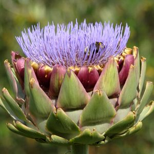 All about Growing the Artichoke Plant