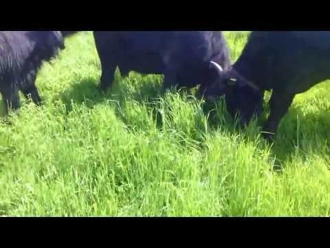 Wat doen waterbuffels als ze elkaar na lange tijd weer ontmoeten? KNOKKEN! - Film van De Stoerderij