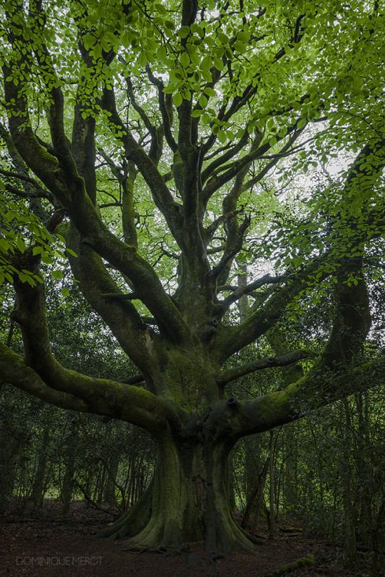 It was raining that evening but I was happy to see that old tree a new time, always preserved and respected. Approximately 400 years old. 19 05 2012 Broceliande - France