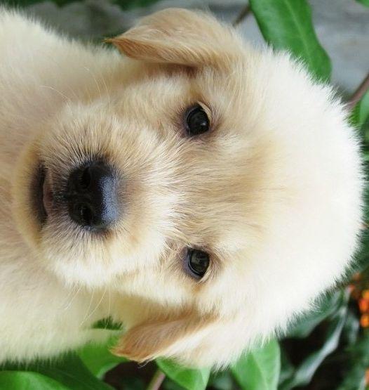 #goldenretriever - #puppy
