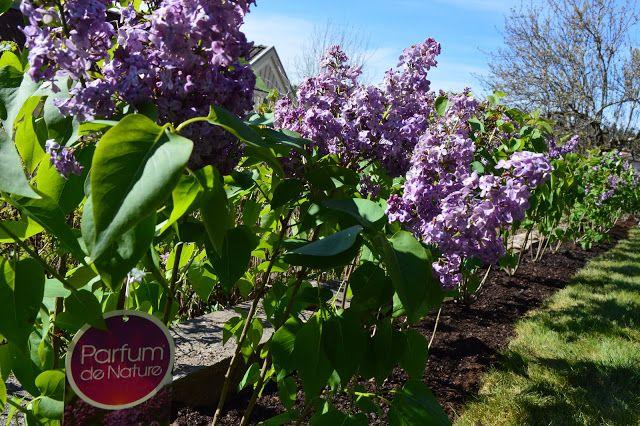 Livet vid 50: Att skapa rum i trädgården med hjälp av syrenhäck