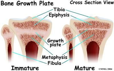 epiphyseal plate