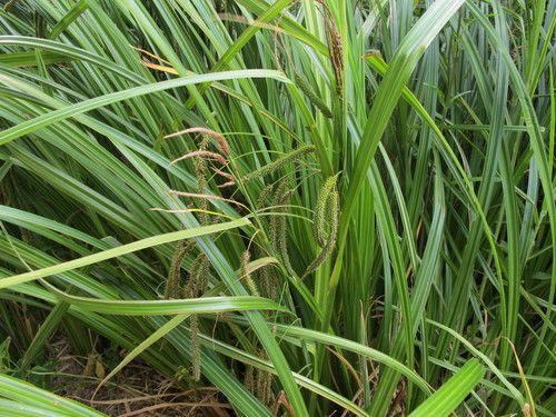 Carex geminata  - Wetland cutty grass/ Cutty grass