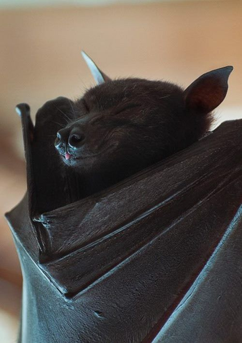 Couldn't post this in r/blep but I hope r/aww will like a cute bat blep.