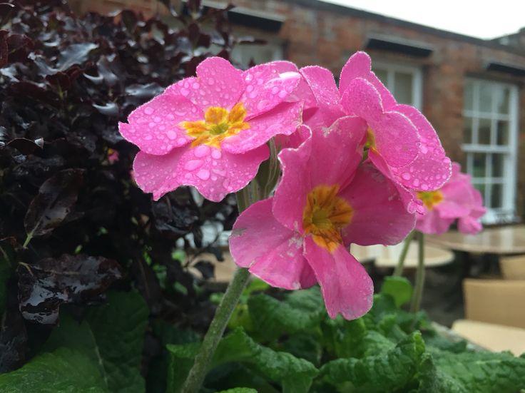 Pretty Pink Primroses