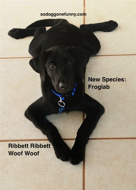 So DogGone Funny!: 14423-Black Lab puppy sits in his frog position....this is how Toby lays lol