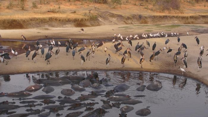 Flotilla of #pelicans are a #unique sight in #Katavi national park  | Holidays in Tanzania | Mbali Mbali Lodges and Camps
