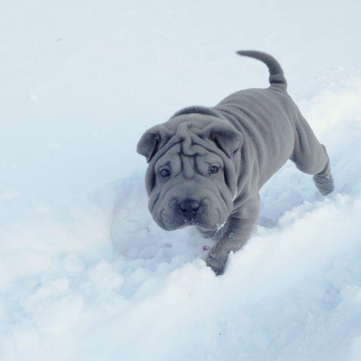 gunner. blue shar pei puppy. 9 weeks old.