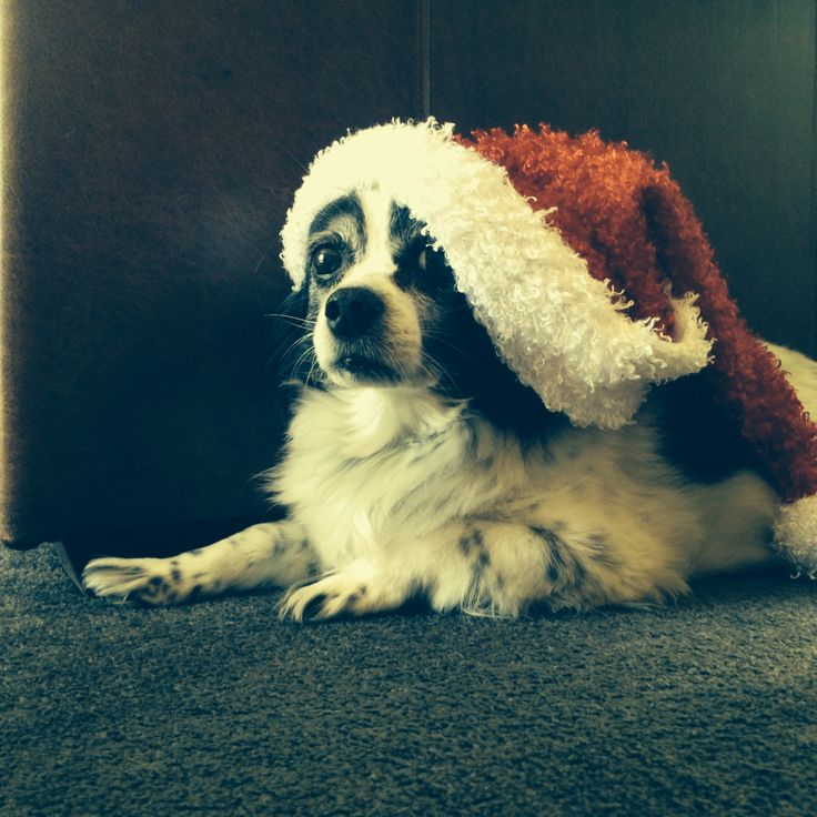 Cecil with a Santa hat, super cute xo