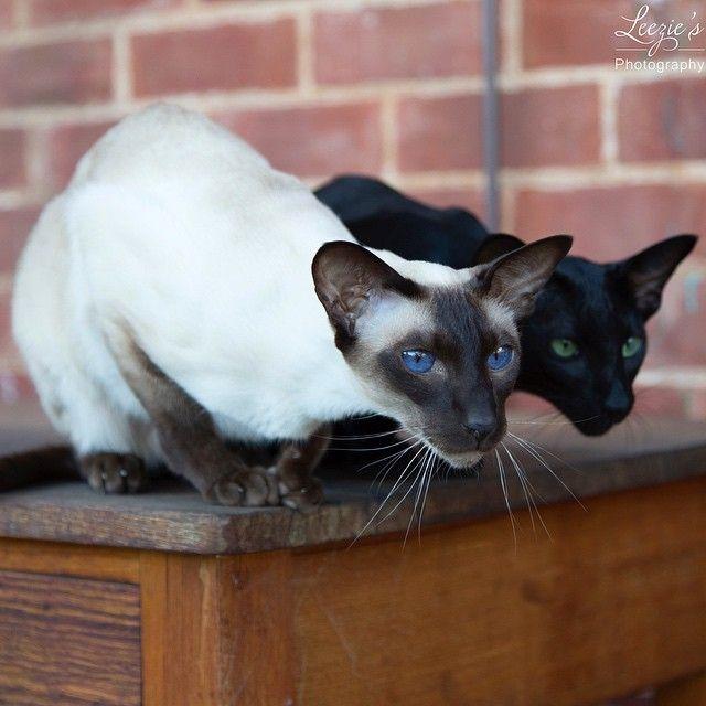 2 Heads Are Better Than 1 Littleleezie Balinese Cat Siamese Cats Russian Blue Cat