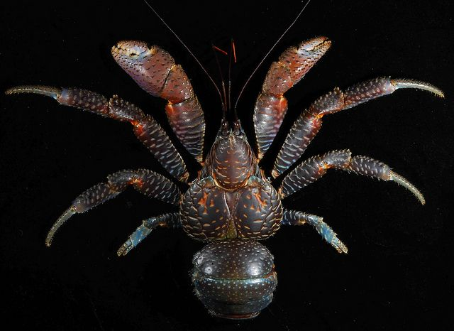 Coconut crab (Birgus latro), Guam | Flickr - Photo Sharing!