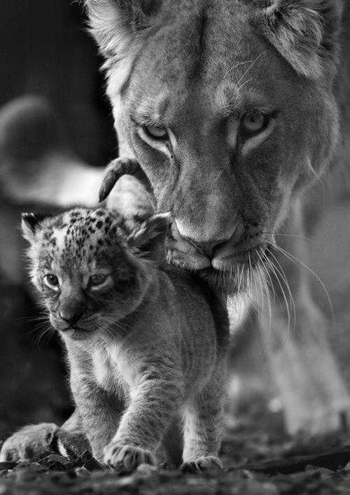 Lionne et son petit