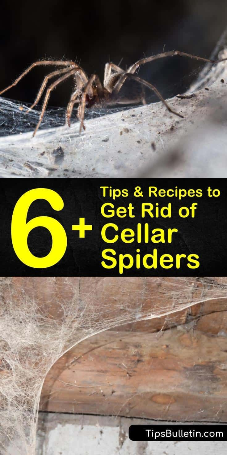 How to get rid of cellar spiders 6 tips and recipes