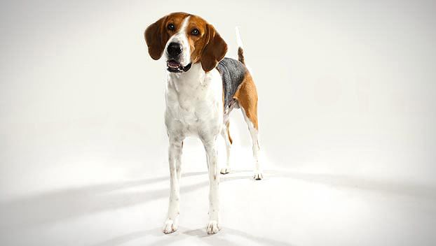 American Fox Hound dog photo | American Foxhound : Dog Breed Selector : Animal Planet