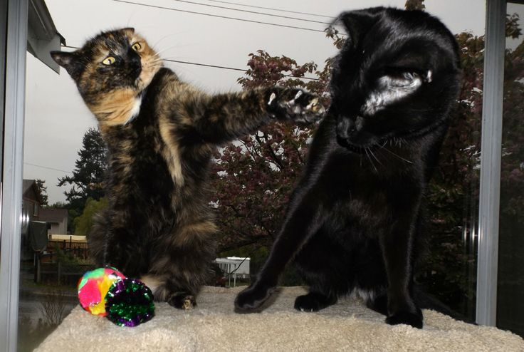 Deunan doesn't like sharing her toys... BOL! www.darkothecanaanmutt.com