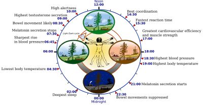 "Circadian rhythm - refers to any biological process that displays an endogenous, entrainable oscillation of about 24 hours. These rhythms are driven by a circadian clock, and rhythms have been widely observed in plants, animals, fungi and cyanobacteria. The term circadian comes from the Latin circa, meaning ""around"" (or ""approximately""), and diem or dies, meaning ""day""."