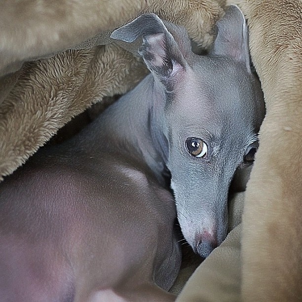 ~Italian Greyhound So Soft~ ...........click here to find out more http://googydog.com