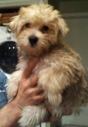 Morkie Tan baby is an adoptable Yorkshire Terrier Yorkie Dog in Oceanside, NY. Adorable 3 month Yorkie/Poodle mix This little cutie is up for adoption, His adoption fee is $500 microchipped and curren...