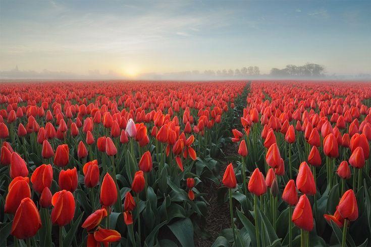 sea-of-tulips,-holland