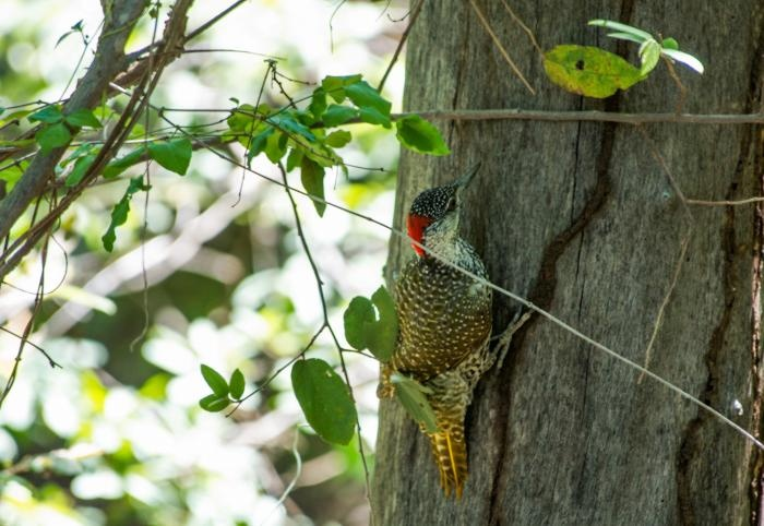 Look Mom, I'm birding! Golden-tailed Woodpecker, Jaci's Lodges birding safaris