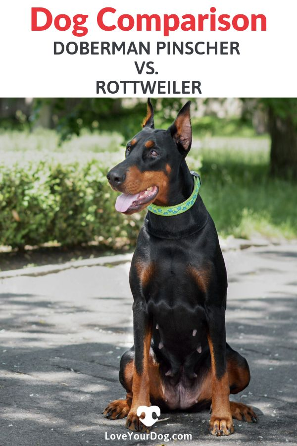 Doberman Pinscher Vs Rottweiler Breed Differences Similarities