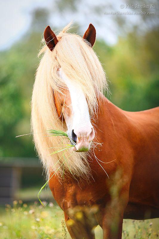 Finnhorse stallion Jaime. Ypäjä, Finland 2014. #horse #summer