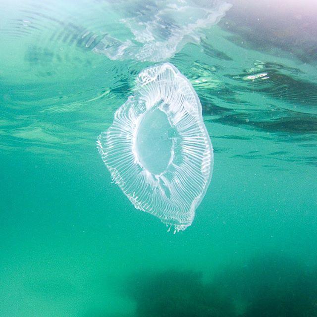 Incredible jellyfish in the #goatislandmarinereserve over the long weekend --------------------------------- #jellyfish #cnidaria #splashteamnz #underwaterisourworld #splashdive #atlantis #marinelife #underwaterphotography #sealifemicrohd+