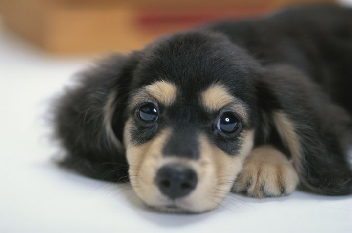 AKC names the 10 Most Popular Dog Breeds for 2012